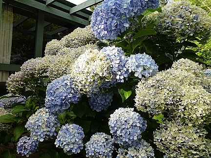 Falling in Love Again…with Hydrangeas